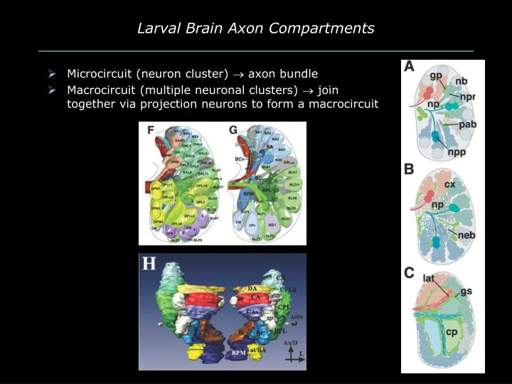 Larval Brain Axon Compartments