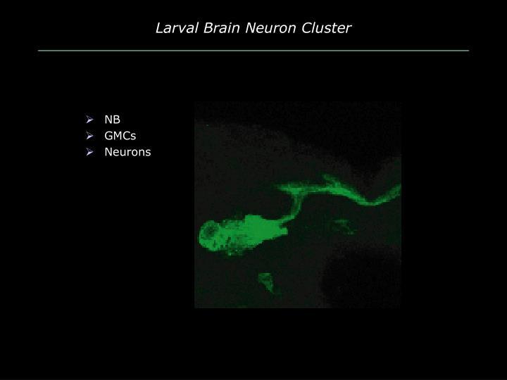 Larval Brain Neuron Cluster