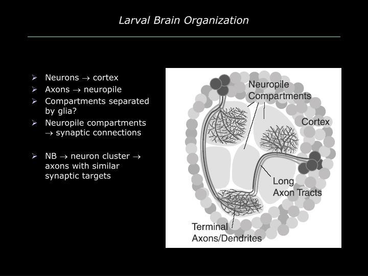 Larval Brain Organization