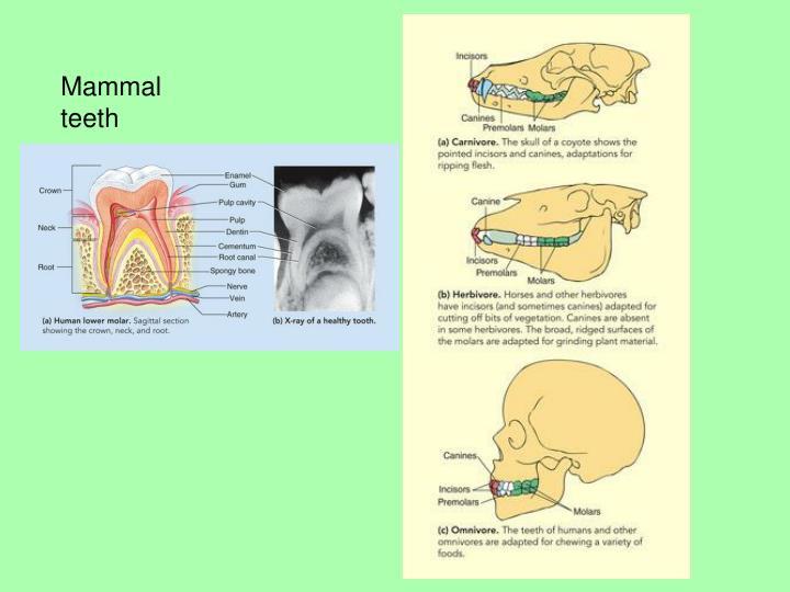 Mammal teeth