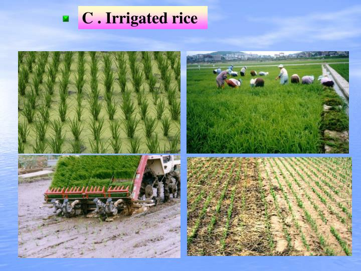 C . Irrigated rice