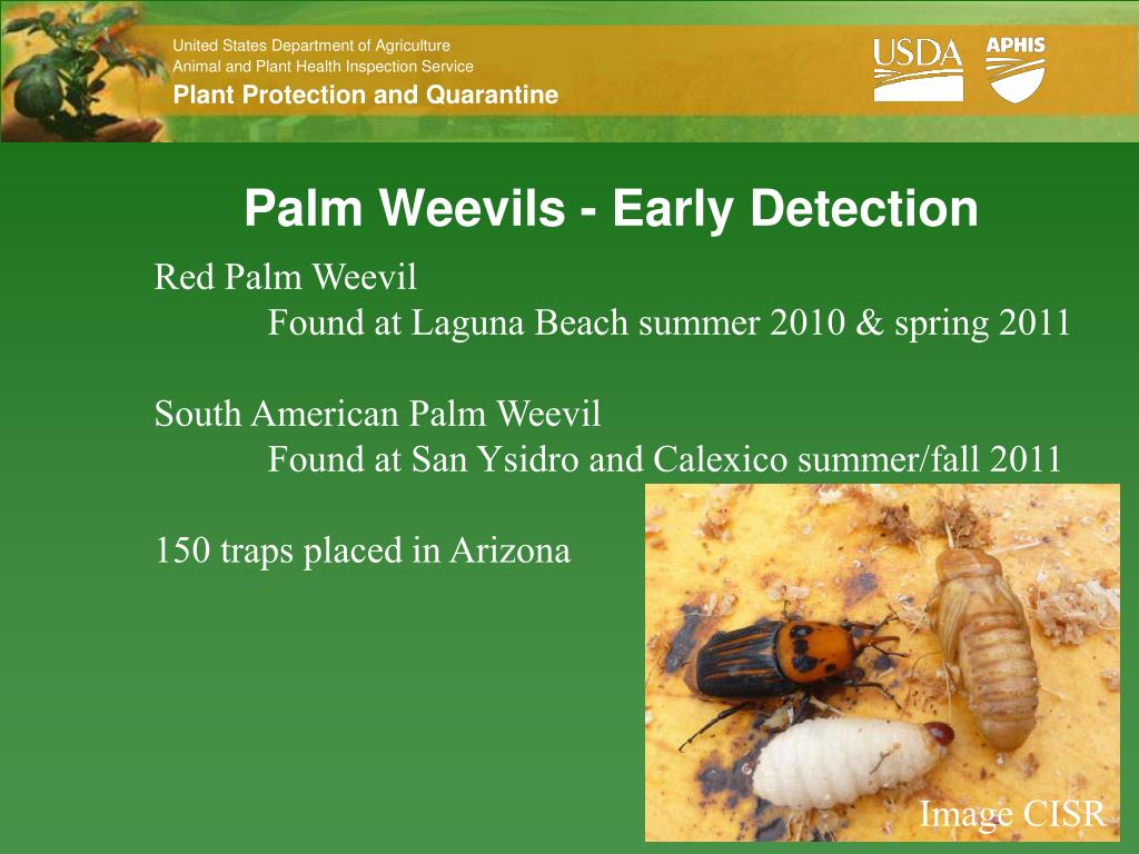 PPT - A Few Insect Pests PowerPoint Presentation - ID:3361625
