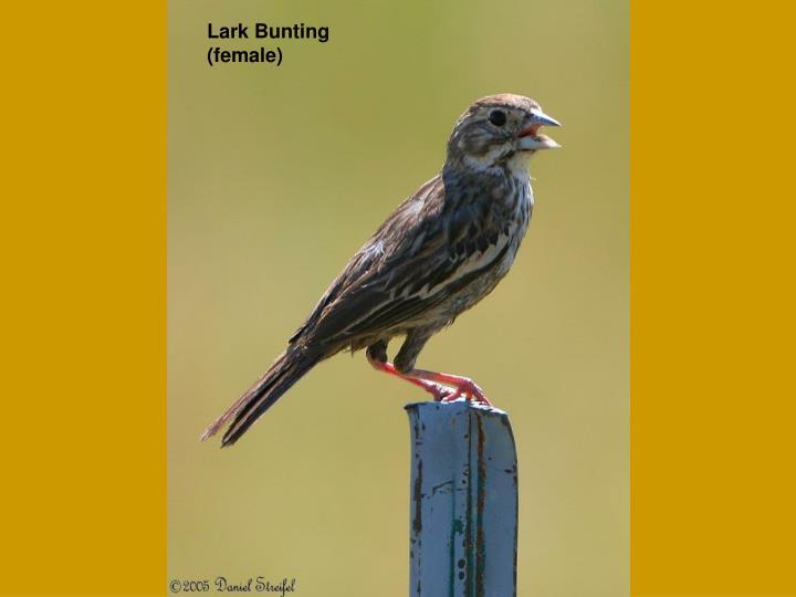 Lark Bunting