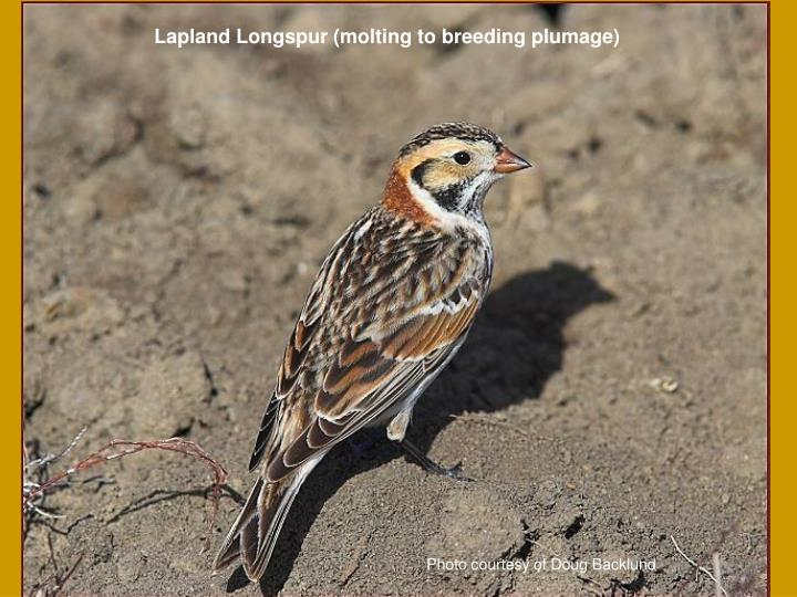 Lapland Longspur (molting to breeding plumage)