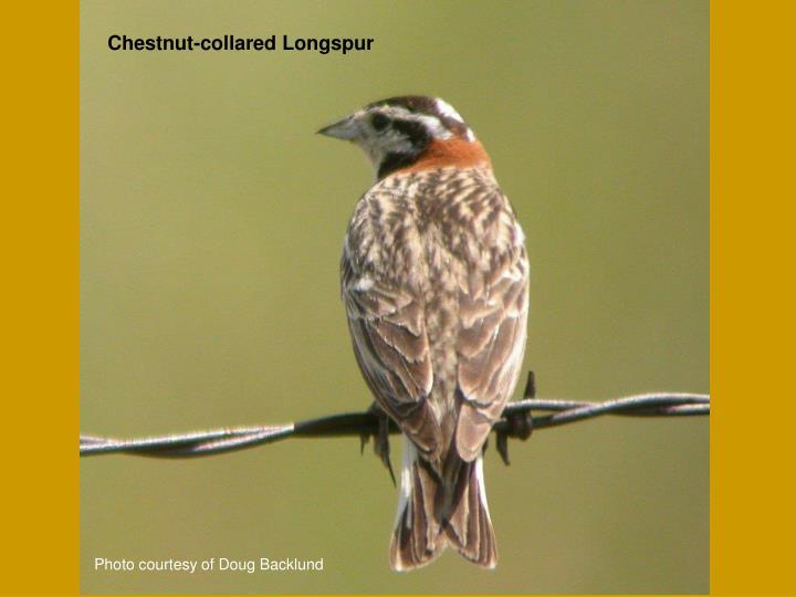 Chestnut-collared Longspur