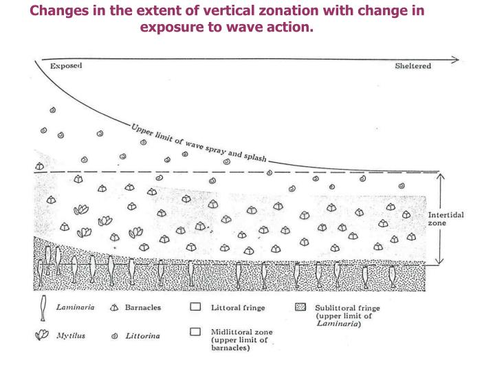 Changes in the extent of vertical zonation with change in exposure to wave action.
