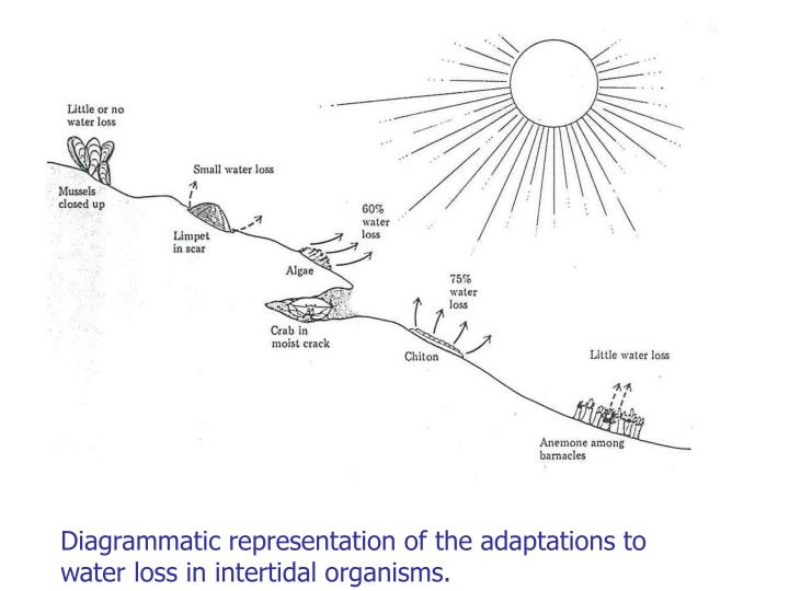 Diagrammatic representation of the adaptations to water loss in intertidal organisms.