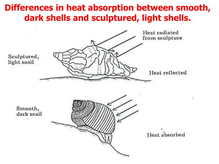 Differences in heat absorption between smooth, dark shells and sculptured, light shells.