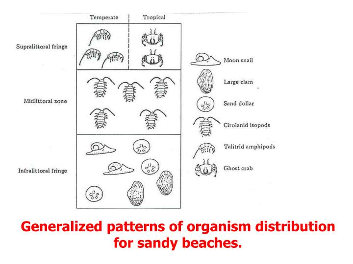 Generalized patterns of organism distribution for sandy beaches.