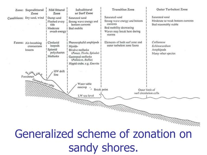 Generalized scheme of zonation on sandy shores.