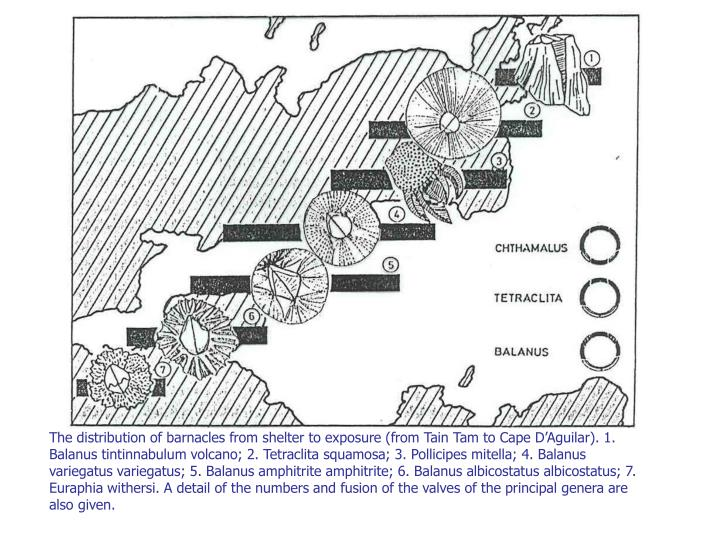 The distribution of barnacles from shelter to exposure (from Tain Tam to Cape D'Aguilar). 1. Balanus tintinnabulum volcano; 2. Tetraclita squamosa; 3. Pollicipes mitella; 4. Balanus variegatus variegatus; 5. Balanus amphitrite amphitrite; 6. Balanus albicostatus albicostatus; 7. Euraphia withersi. A detail of the numbers and fusion of the valves of the principal genera are also given.