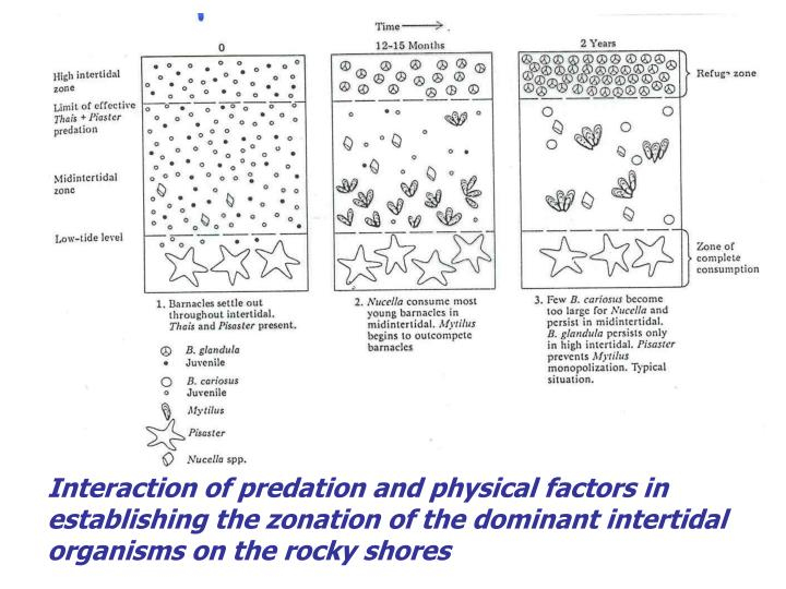Interaction of predation and physical factors in establishing the zonation of the dominant intertidal organisms on the rocky shores