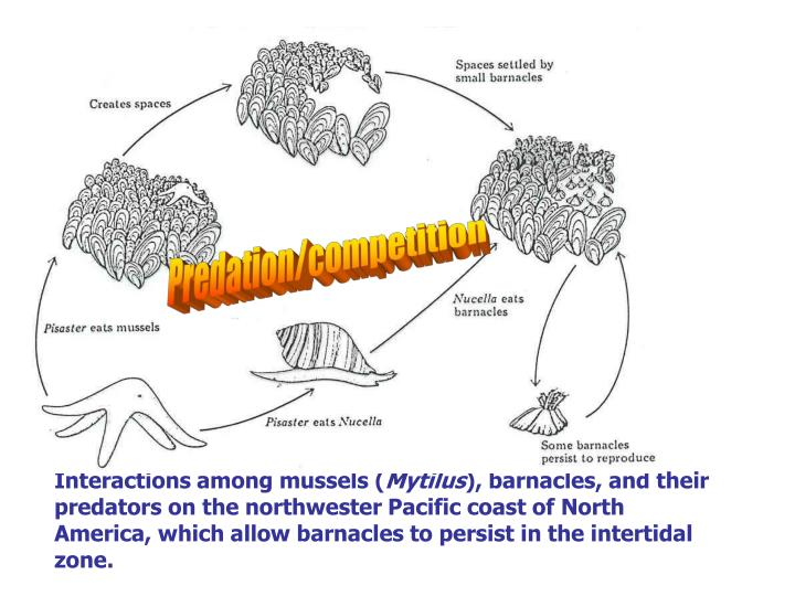 Interactions among mussels (