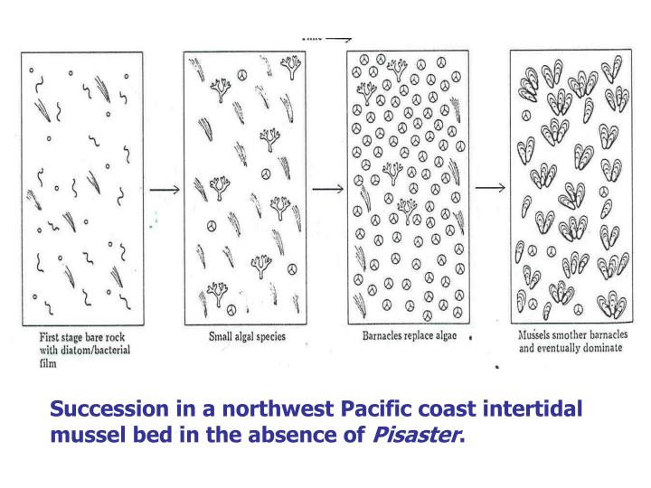 Succession in a northwest Pacific coast intertidal mussel bed in the absence of