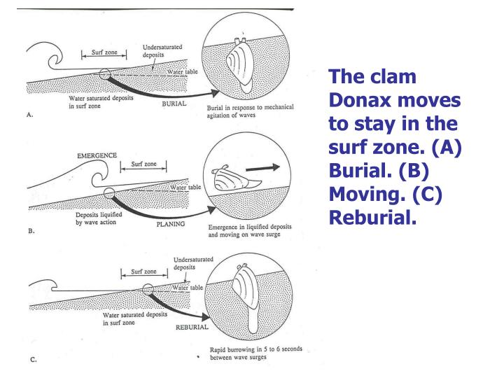 The clam Donax moves to stay in the surf zone. (A) Burial. (B) Moving. (C) Reburial.