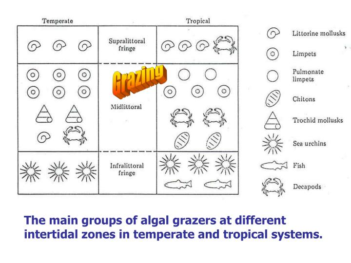 The main groups of algal grazers at different intertidal zones in temperate and tropical systems.