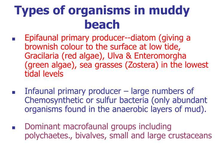 Types of organisms in muddy beach