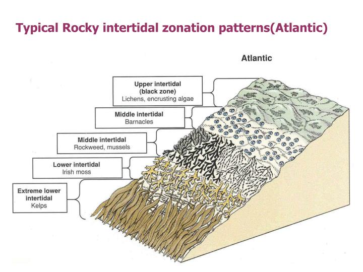 Typical Rocky intertidal zonation patterns(Atlantic)