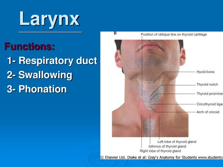 Ppt Larynx Powerpoint
