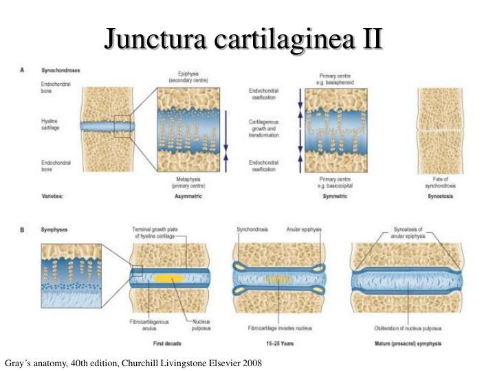 Junctura cartilaginea II