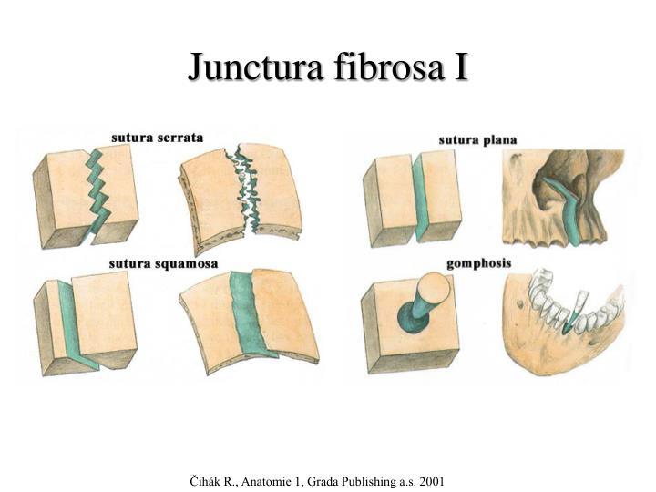 Junctura fibrosa I