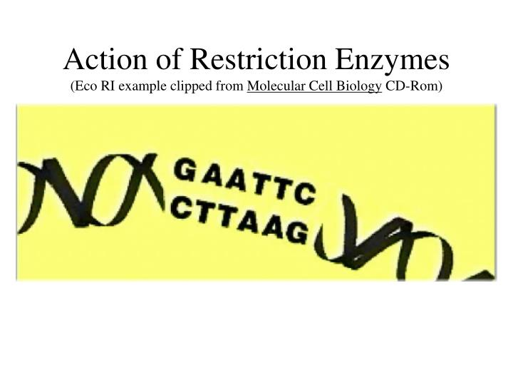 Action of Restriction Enzymes