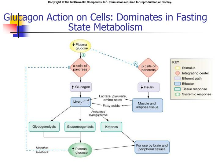 Glucagon Action on Cells: Dominates in Fasting State Metabolism