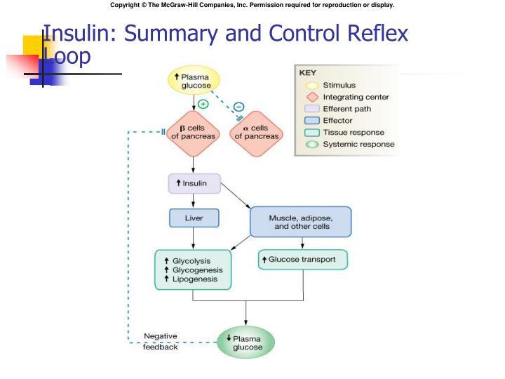 Insulin: Summary and Control Reflex Loop