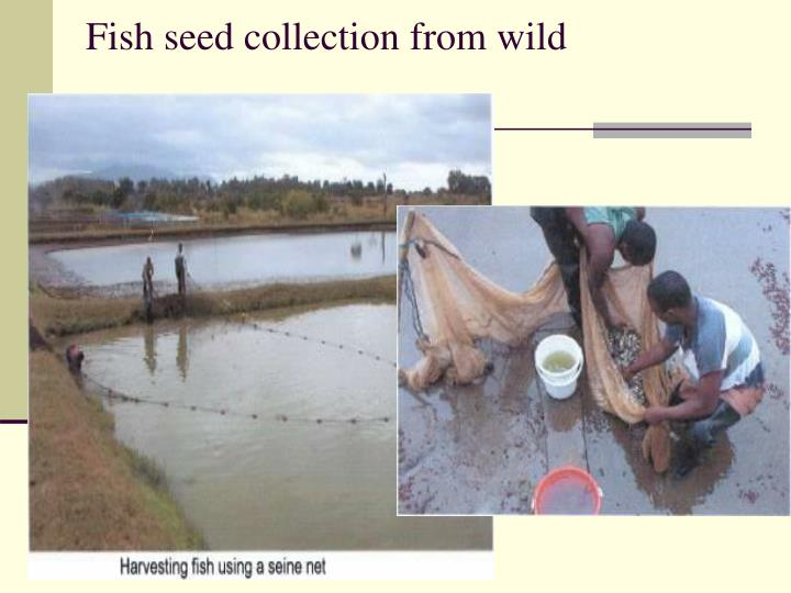 Fish seed collection from wild