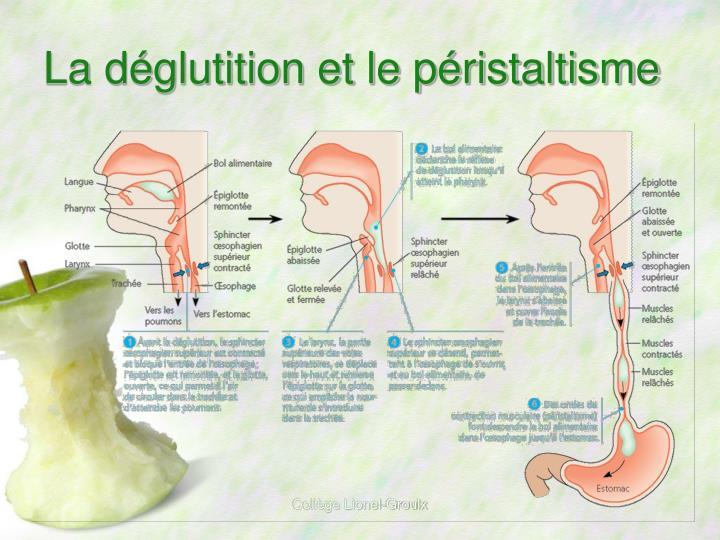 La déglutition et le péristaltisme