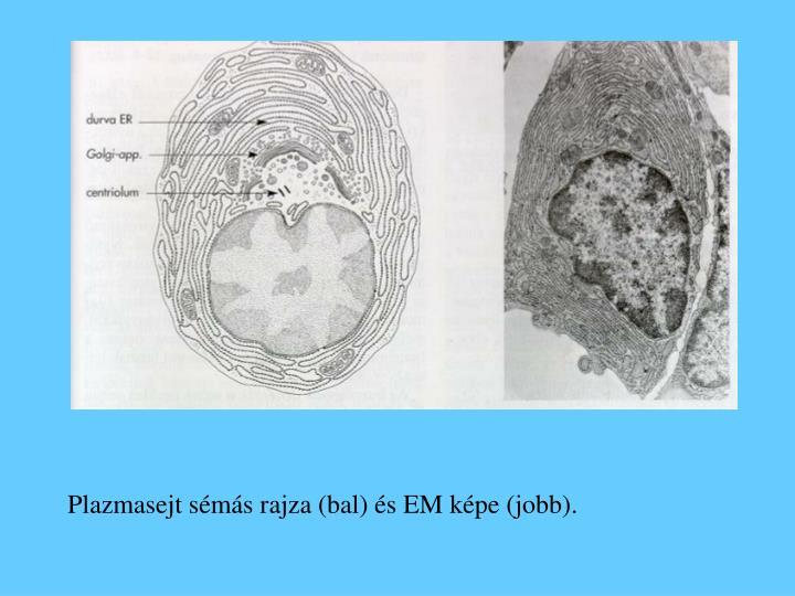 Plazmasejt sémás rajza (bal) és EM képe (jobb).