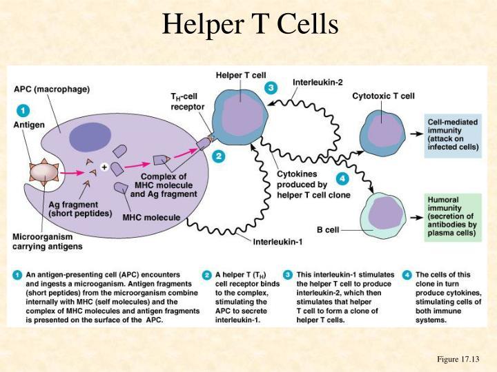 cell mediated immunity