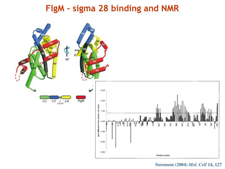 FlgM - sigma 28 binding and NMR
