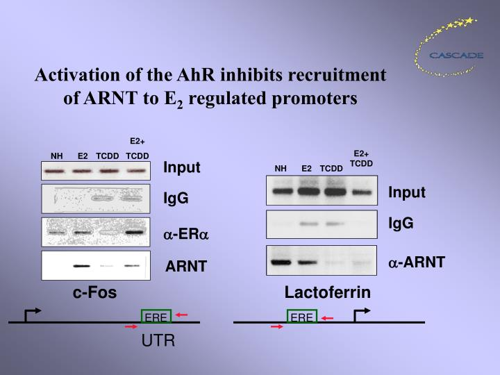 Activation of the AhR inhibits recruitment of ARNT to E