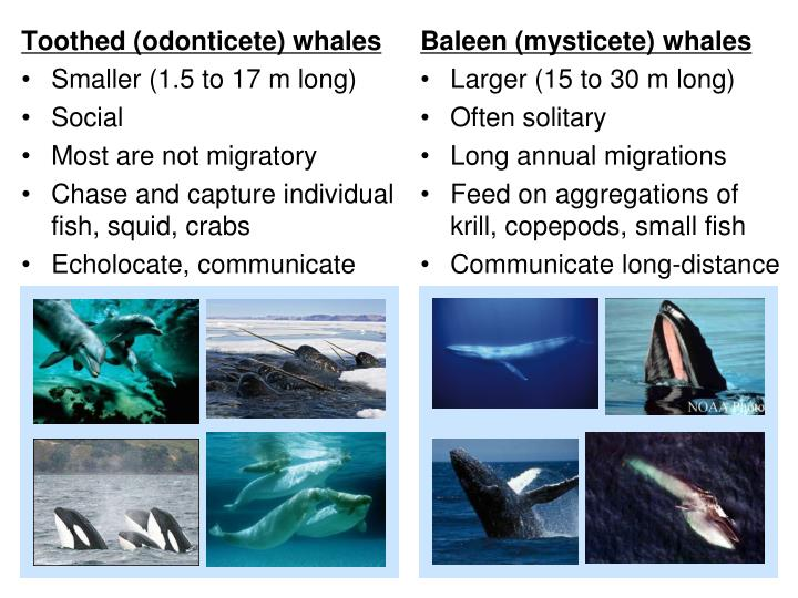 Toothed (odonticete) whales