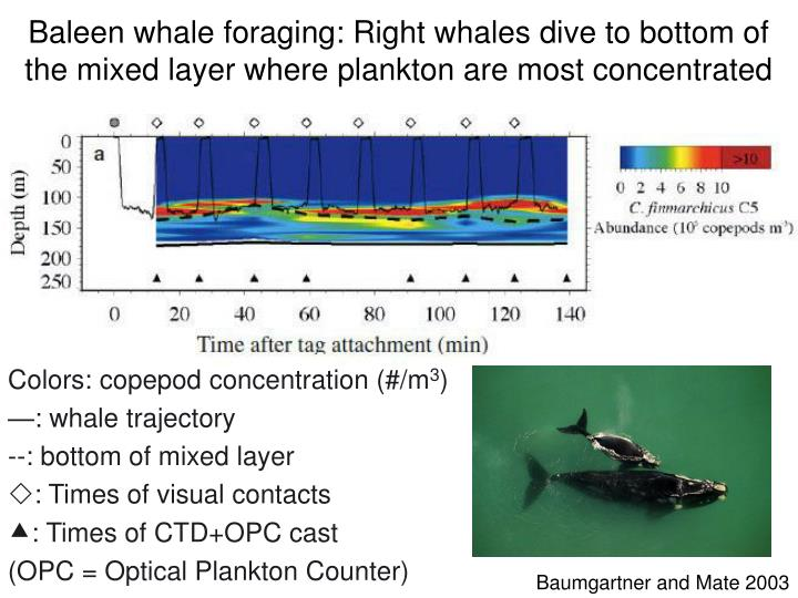 Baleen whale foraging: Right whales dive to bottom of the mixed layer where plankton are most concentrated