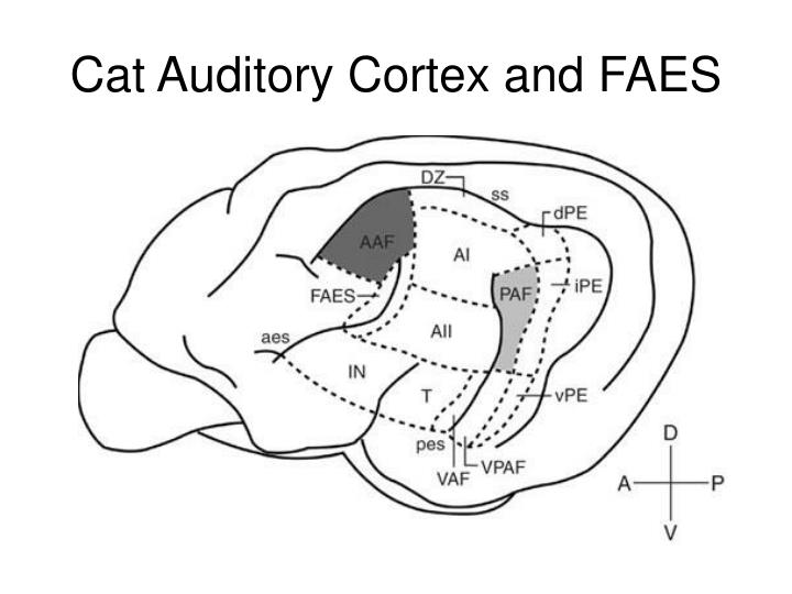 Cat auditory cortex and faes