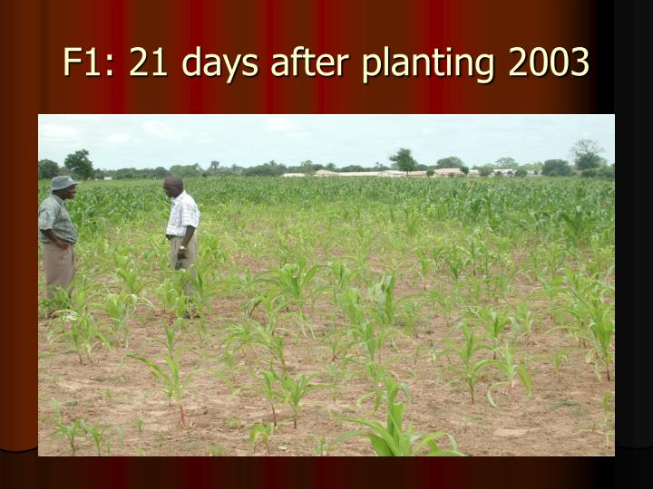 F1: 21 days after planting 2003