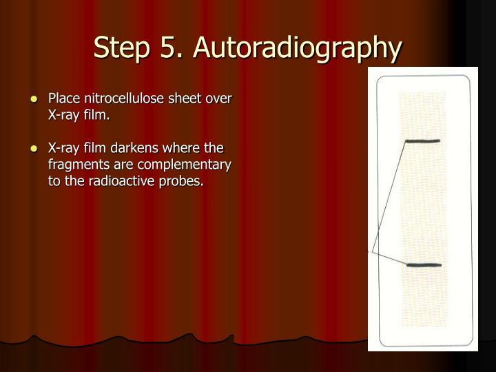 Step 5. Autoradiography