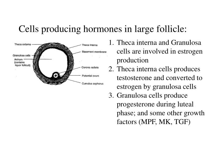 Cells producing hormones in large follicle: