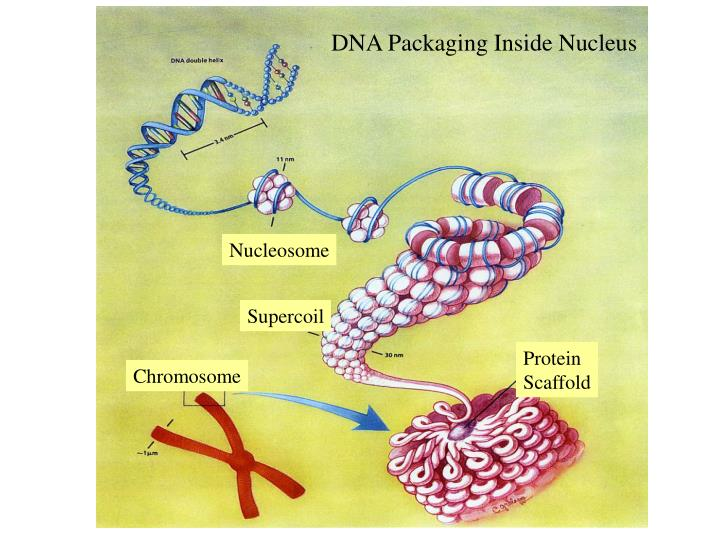 DNA Packaging Inside Nucleus