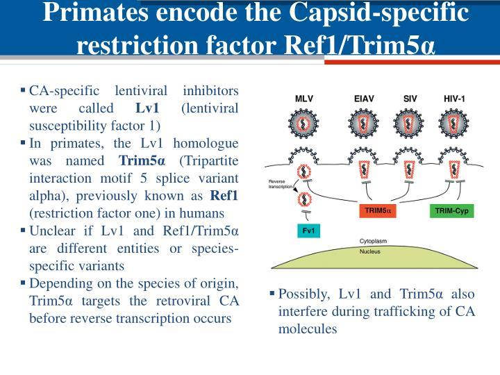 Primates encode the Capsid-specific restriction factor Ref1/Trim5