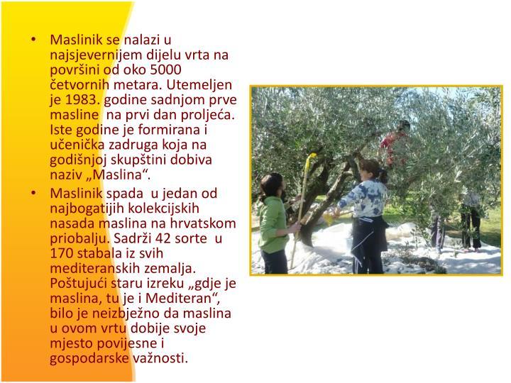 """Maslinik se nalazi u najsjevernijem dijelu vrta na površini od oko 5000 četvornih metara. Utemeljen  je 1983. godine sadnjom prve masline  na prvi dan proljeća. Iste godine je formirana i učenička zadruga koja na godišnjoj skupštini dobiva naziv """"Maslina""""."""