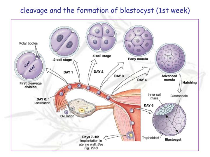 cleavage and the formation of blastocyst (