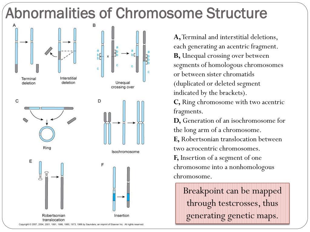PPT - Human Karyotypes and Chromosomes Behavior PowerPoint ...