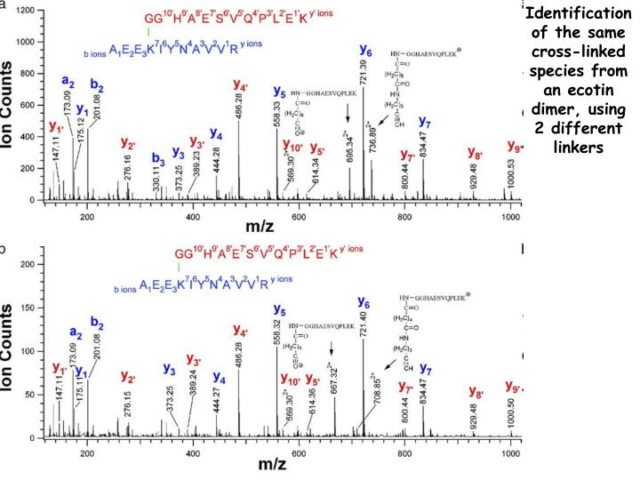 Identification of the same cross-linked species from an ecotin dimer, using 2 different linkers