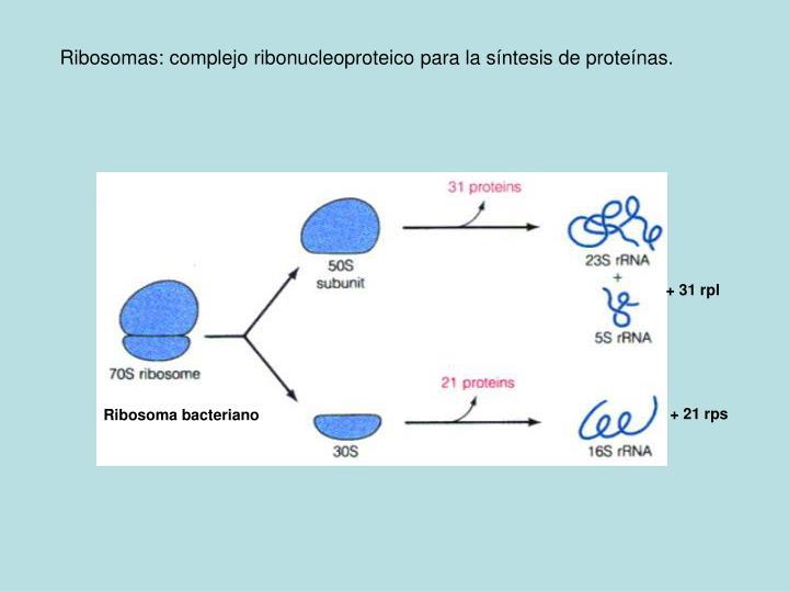 Ribosomas: complejo ribonucleoproteico para la s