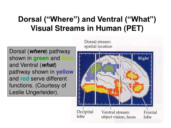"""Dorsal (""""Where"""") and Ventral (""""What"""") Visual Streams in Human (PET)"""
