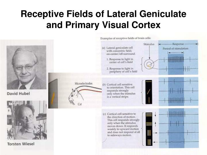 Receptive Fields of Lateral Geniculate and Primary Visual Cortex