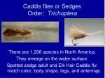 caddis flies or sedges order trichoptera